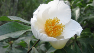 Pictures Of Franklinia
