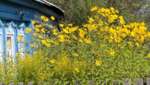 Pictures Of Helianthus Schweinitzii