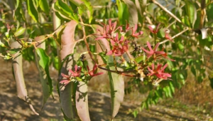 Pictures Of Heptacodium Miconioides