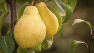 Pictures Of Pear Tree