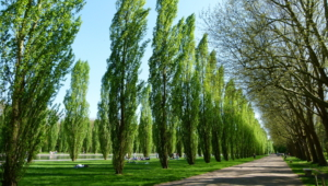 Pictures Of Poplar