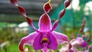 Shenzhen Nongke Orchid 4K