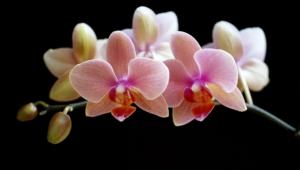 Shenzhen Nongke Orchid Desktop Images