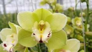 Shenzhen Nongke Orchid Desktop Wallpaper