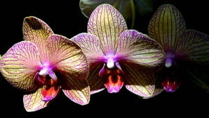 Shenzhen Nongke Orchid Download