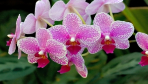Shenzhen Nongke Orchid Free Download