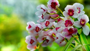 Shenzhen Nongke Orchid Free HD Wallpapers