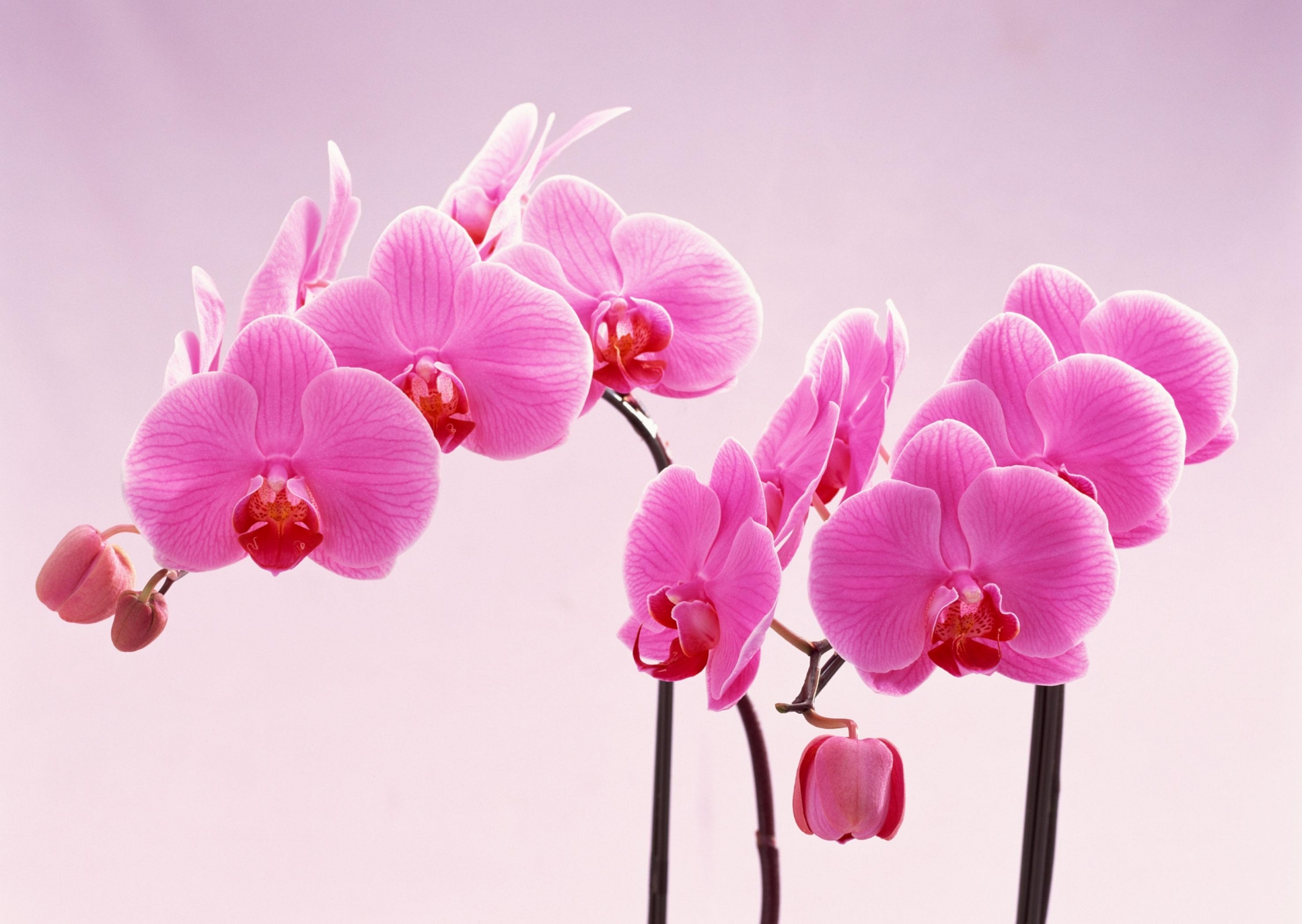 Shenzhen Nongke Orchid HD Background