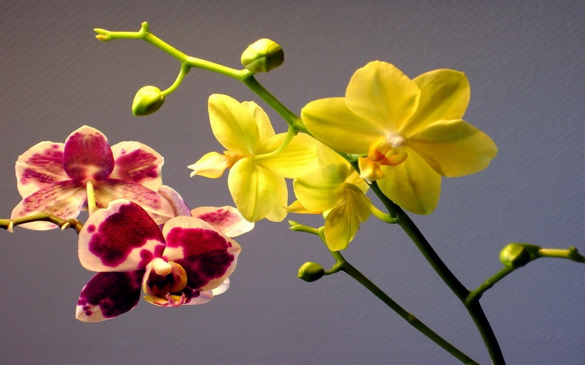 Shenzhen Nongke Orchid HD Desktop