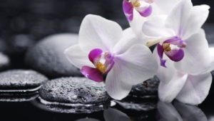 Shenzhen Nongke Orchid HD Wallpaper