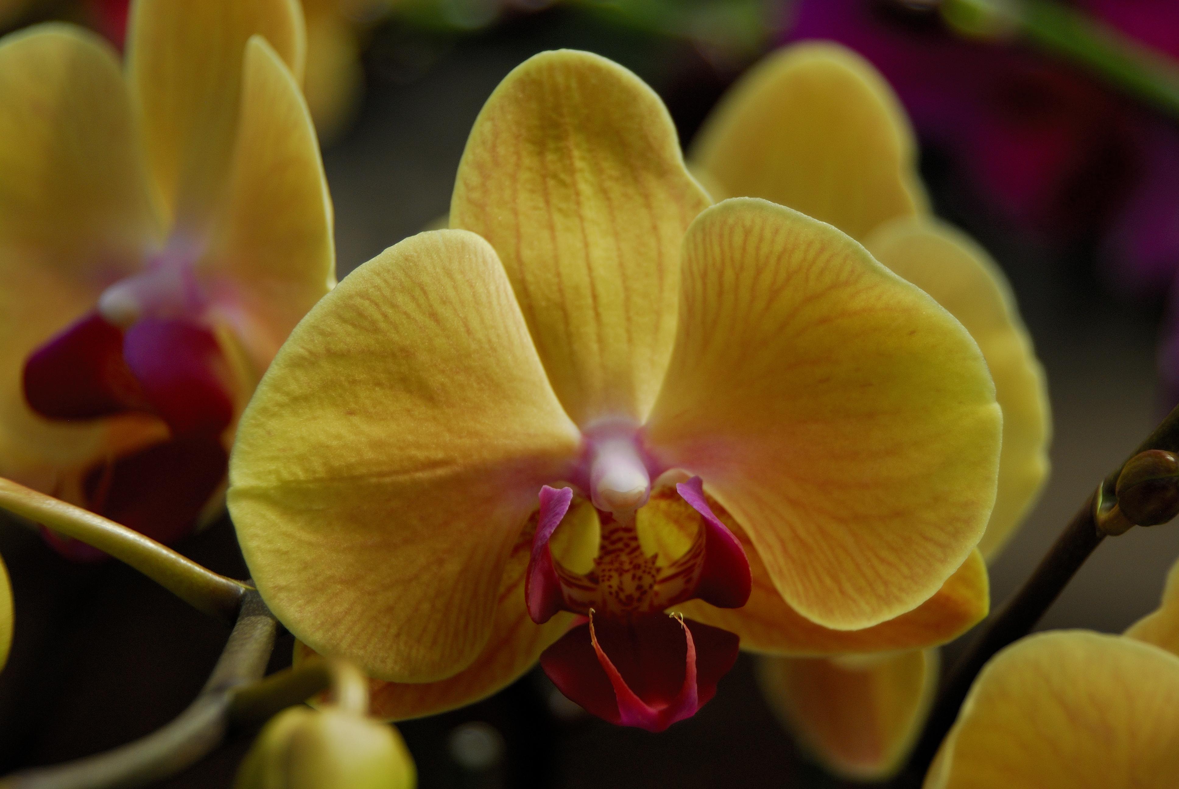 Shenzhen Nongke Orchid HD Pics