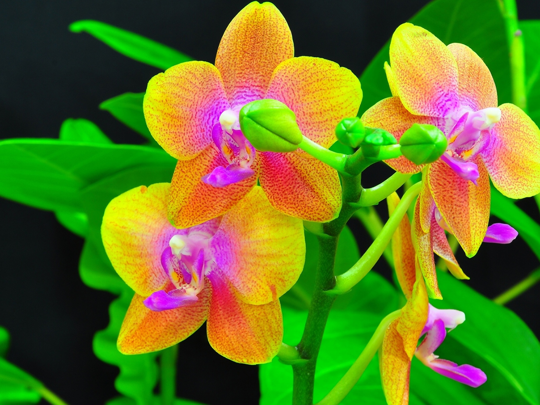 Shenzhen Nongke Orchid High Quality Wallpapers