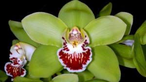Shenzhen Nongke Orchid Pictures