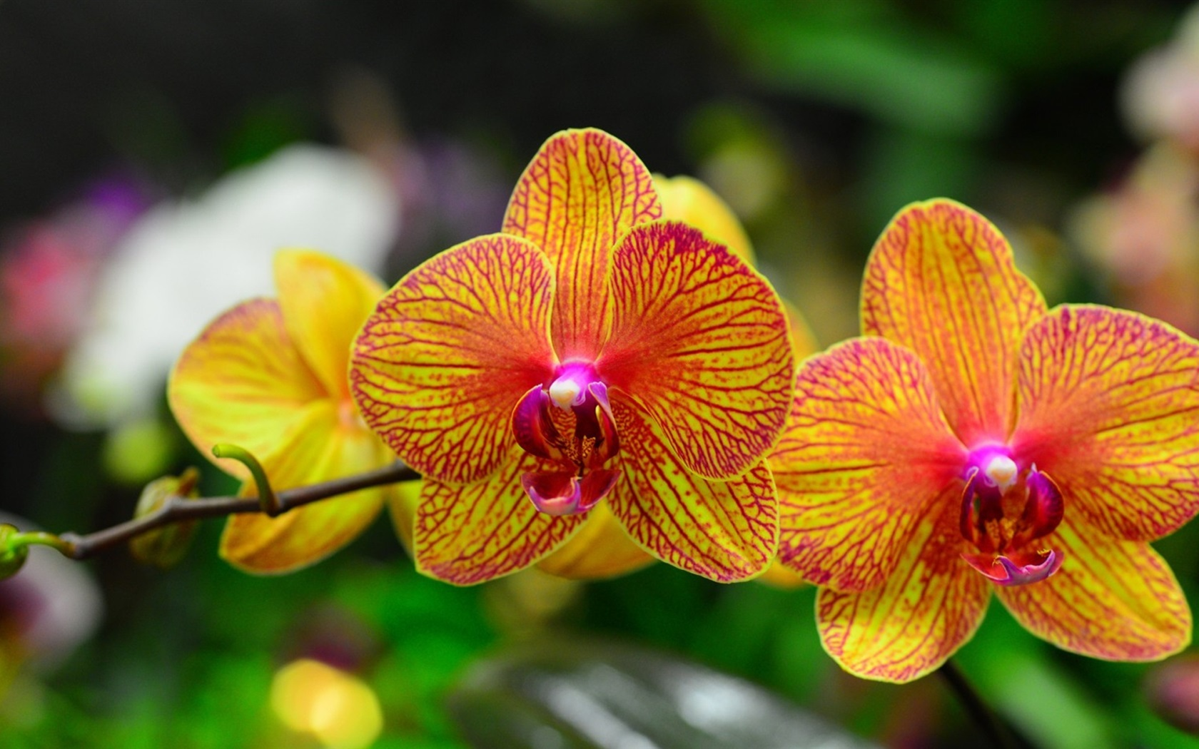 Shenzhen Nongke Orchid Wallpaper For Laptop