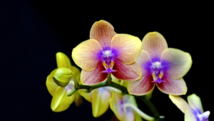 Shenzhen Nongke Orchid Wallpapers HQ