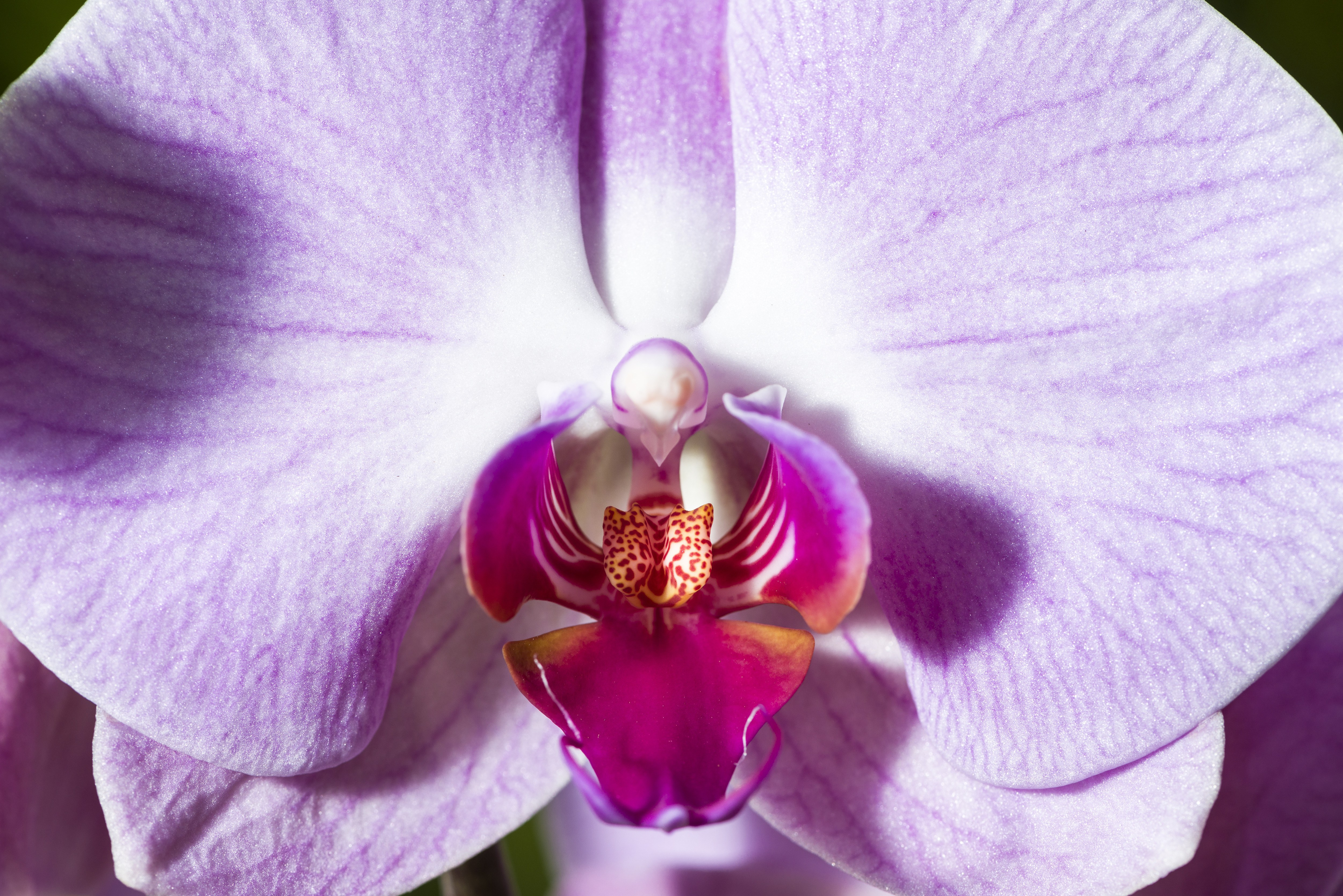 Shenzhen Nongke Orchid Wallpaper For Windows
