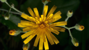 Snowdonia Hawkweed Photos