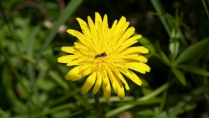 Snowdonia Hawkweed Pictures
