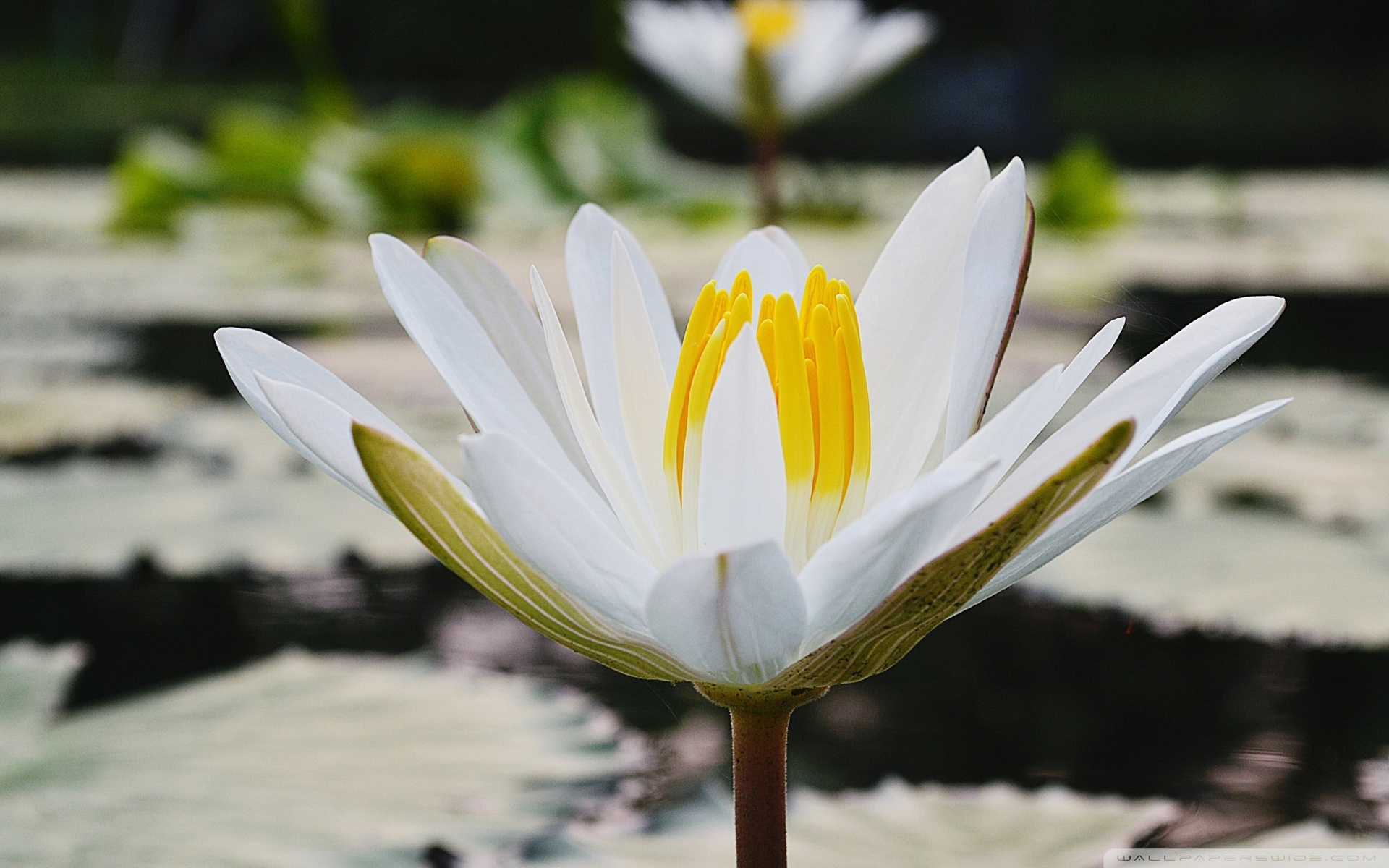 White Lotus Background