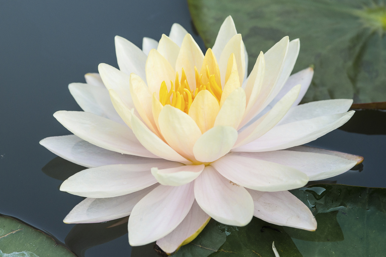 White Lotus HD Wallpaper