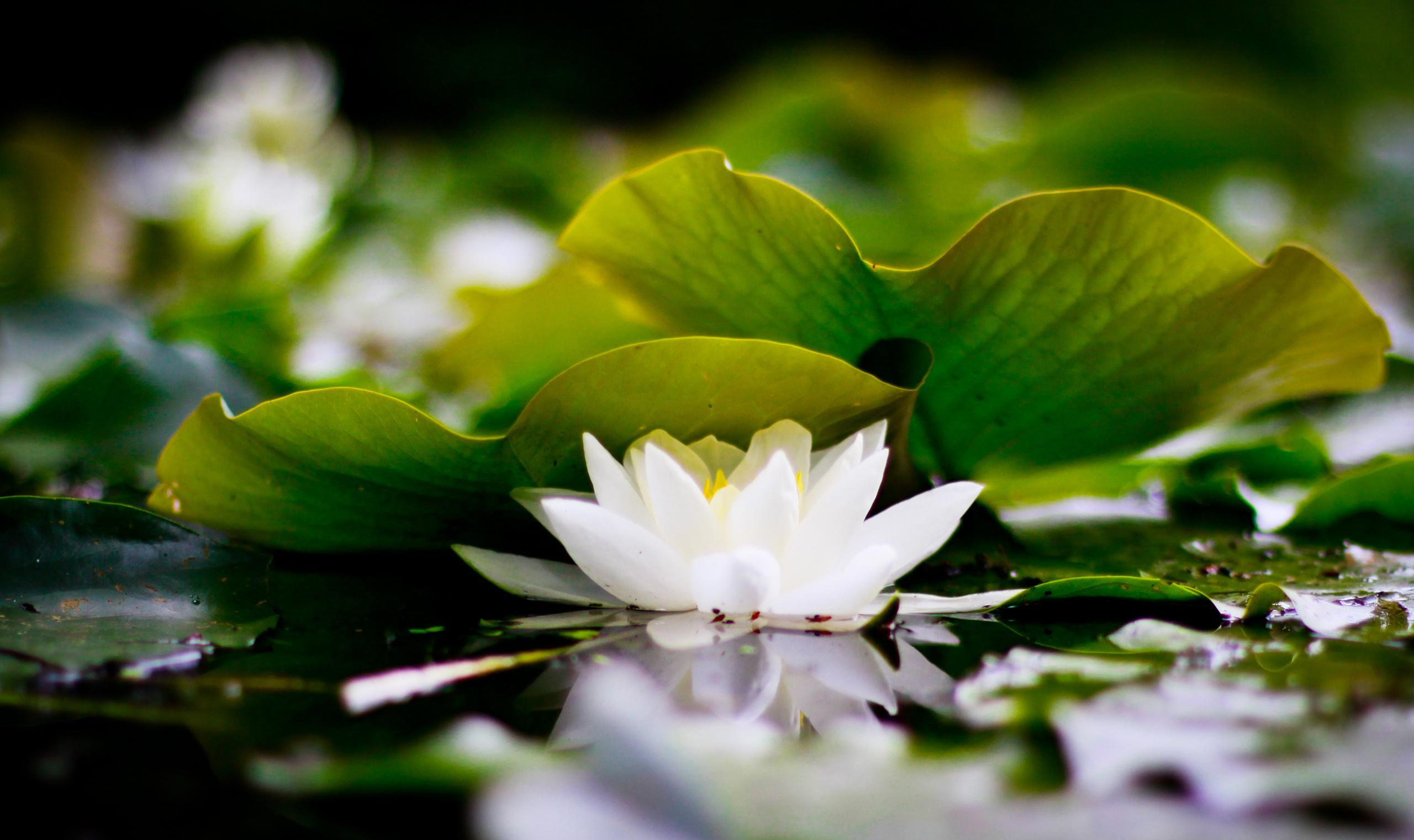 White Lotus High Quality Wallpapers