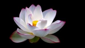 White Lotus Images