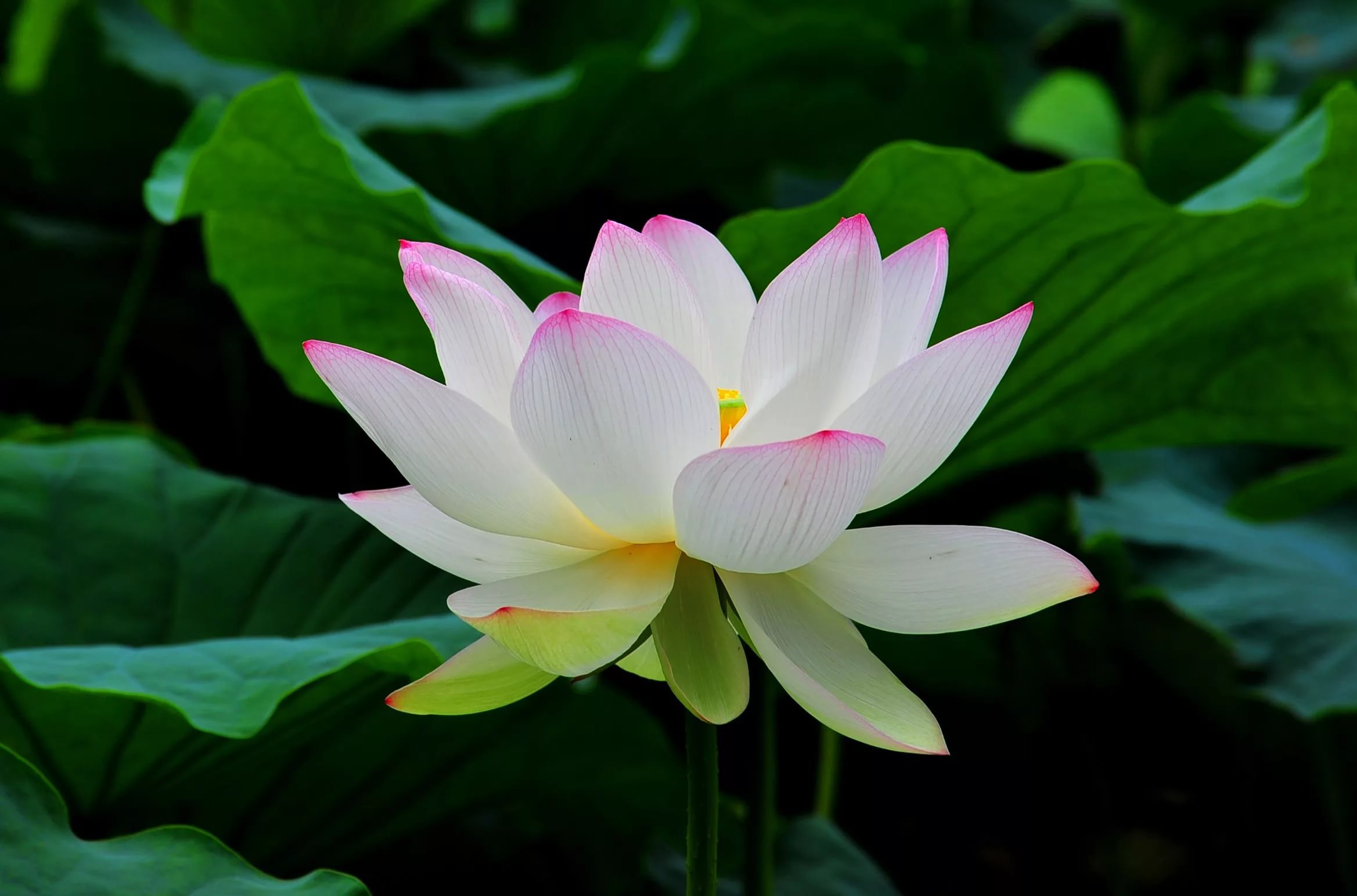 White Lotus Photos