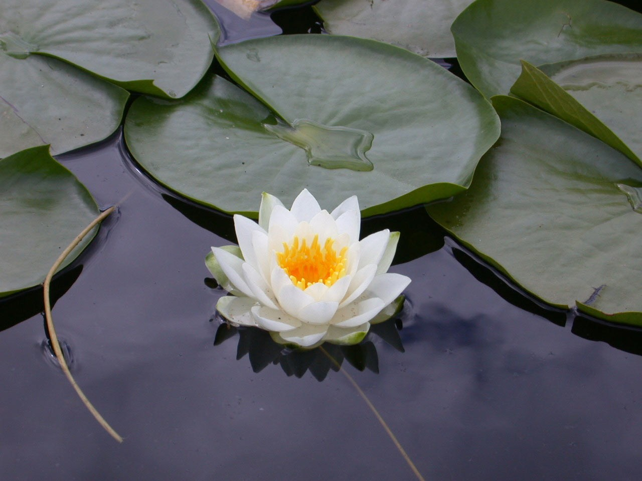 White Lotus Pictures