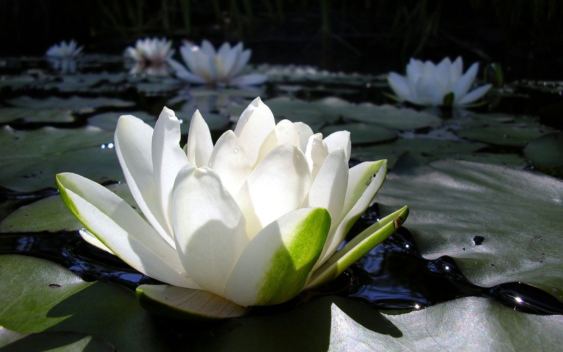 White Lotus Wallpapers HD
