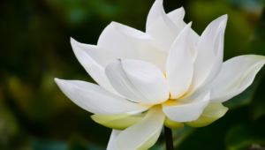 White Lotus Widescreen