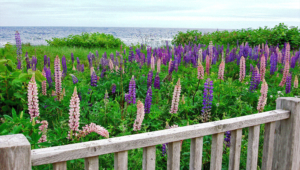 Wild Lupine Pictures