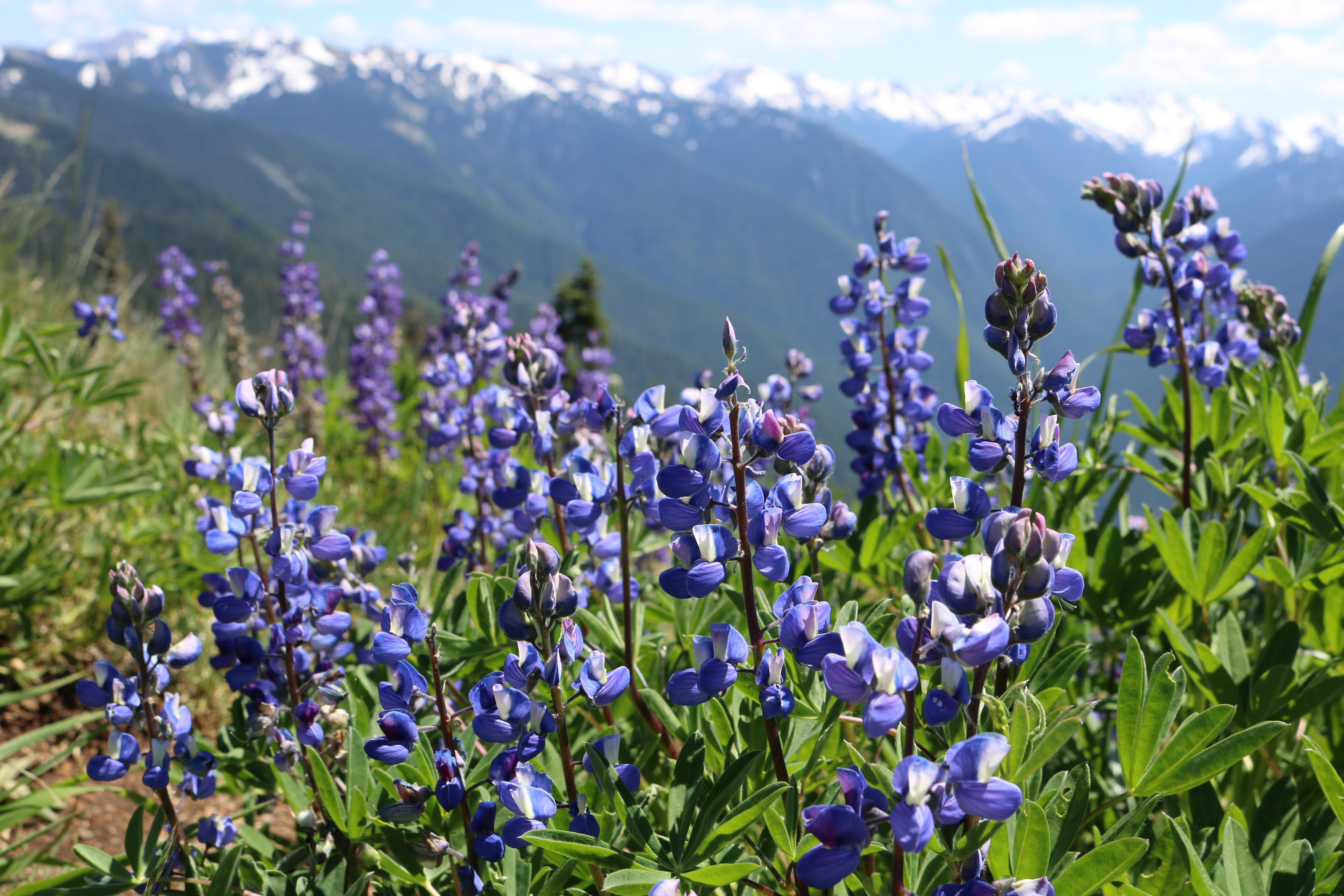 Wild Lupine Wallpapers