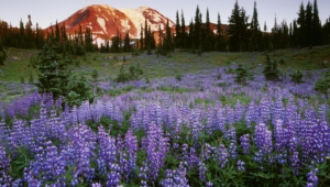 Wild Lupine Widescreen